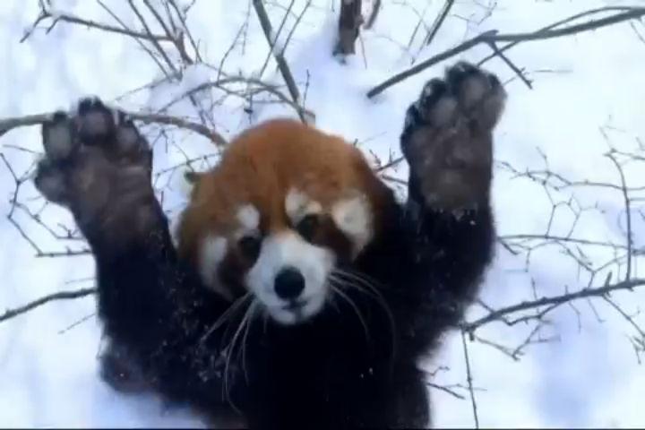 red panda_22403