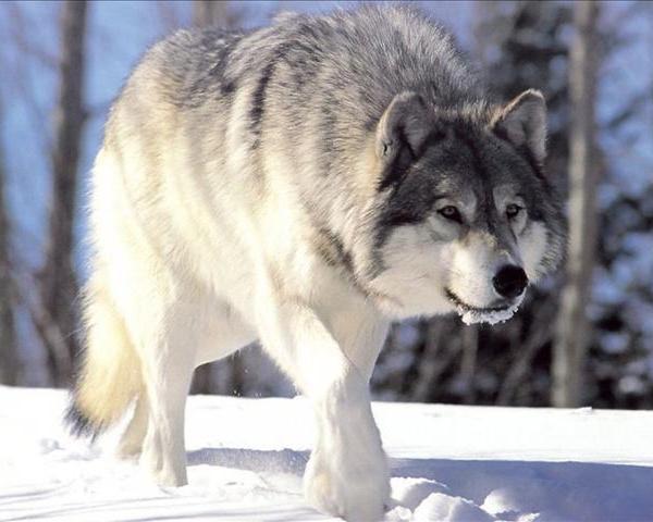 Wolf_21041