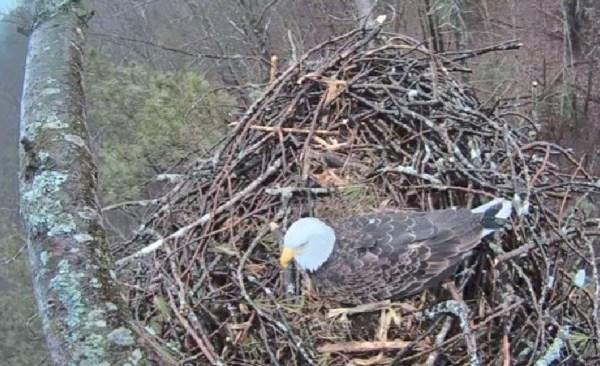 bald eagle pic_139835