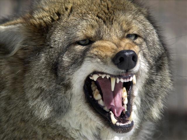 Coyote_150906