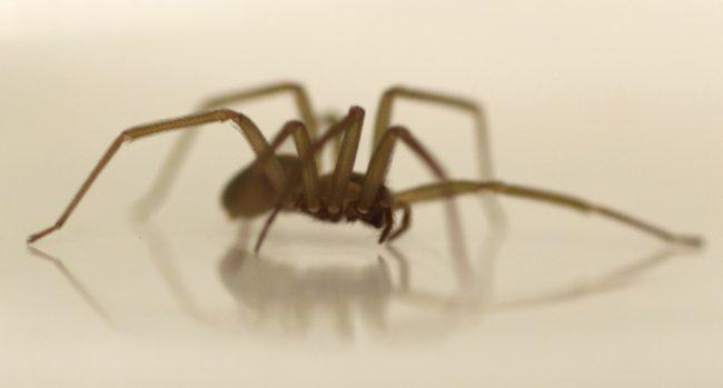 Brown recluse spider_255990