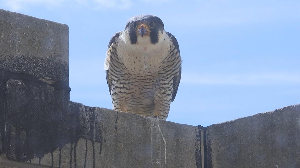 jackson falcon_267953