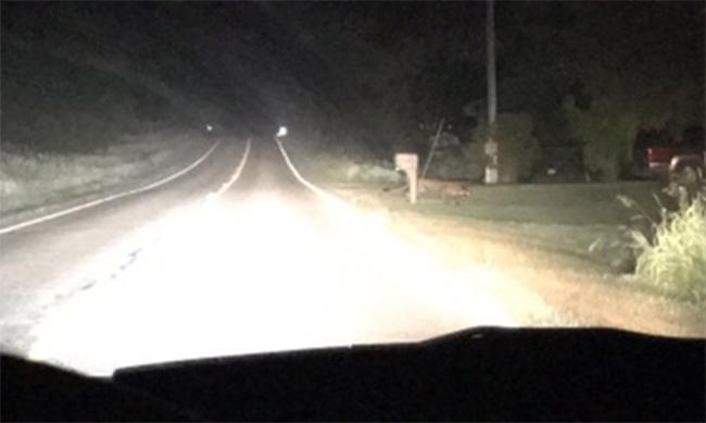 Cougar_sighting_Clinton_County-close_283371