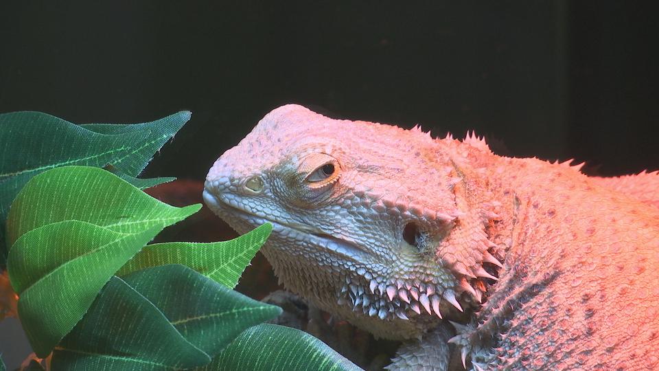 lizard_311175