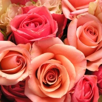 roses-flowers-valentines-day_1517879321399_340223_ver1-0_33247436_ver1-0_640_360_368288