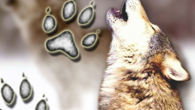 Grey wolves_105062