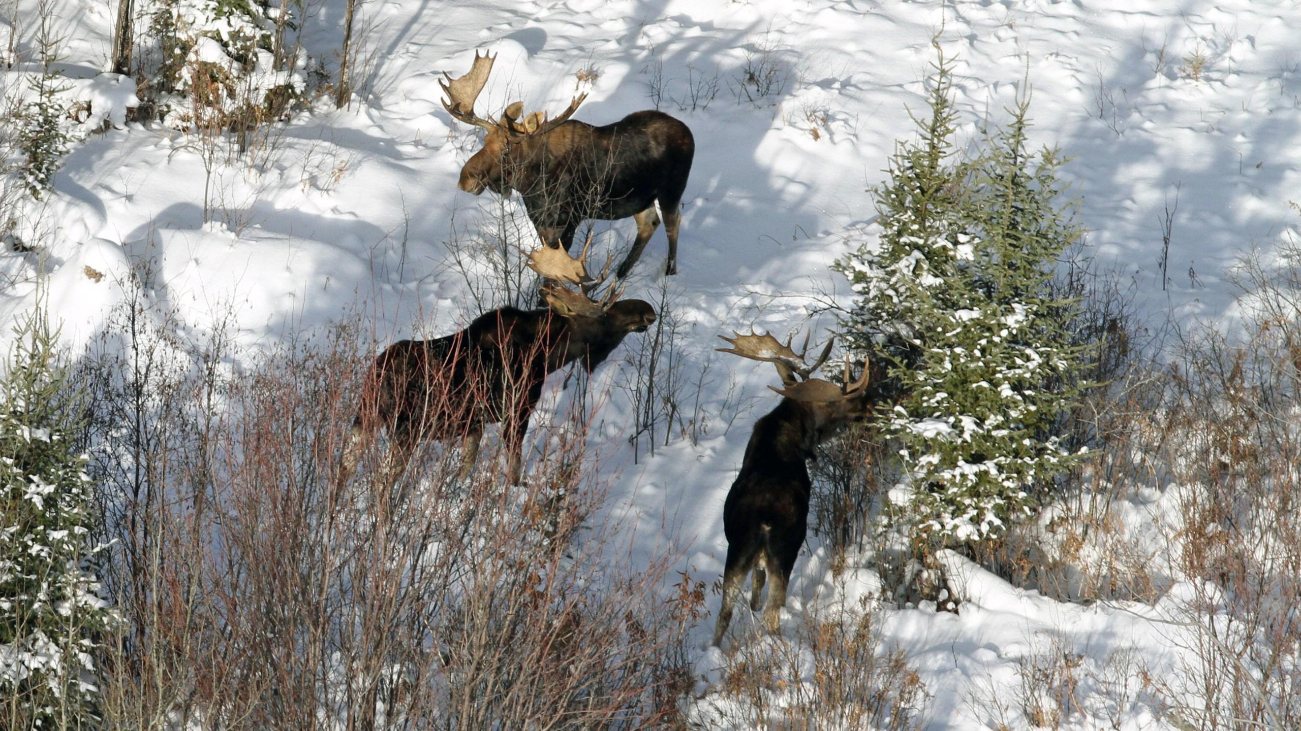 Aerial Moose_1552673901140.jpg