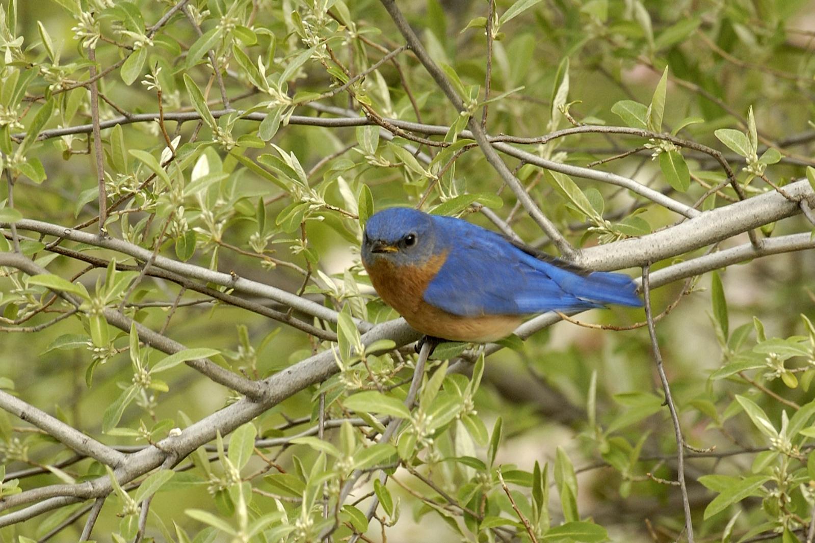 Eastern_Bluebird_1554253436381.jpg