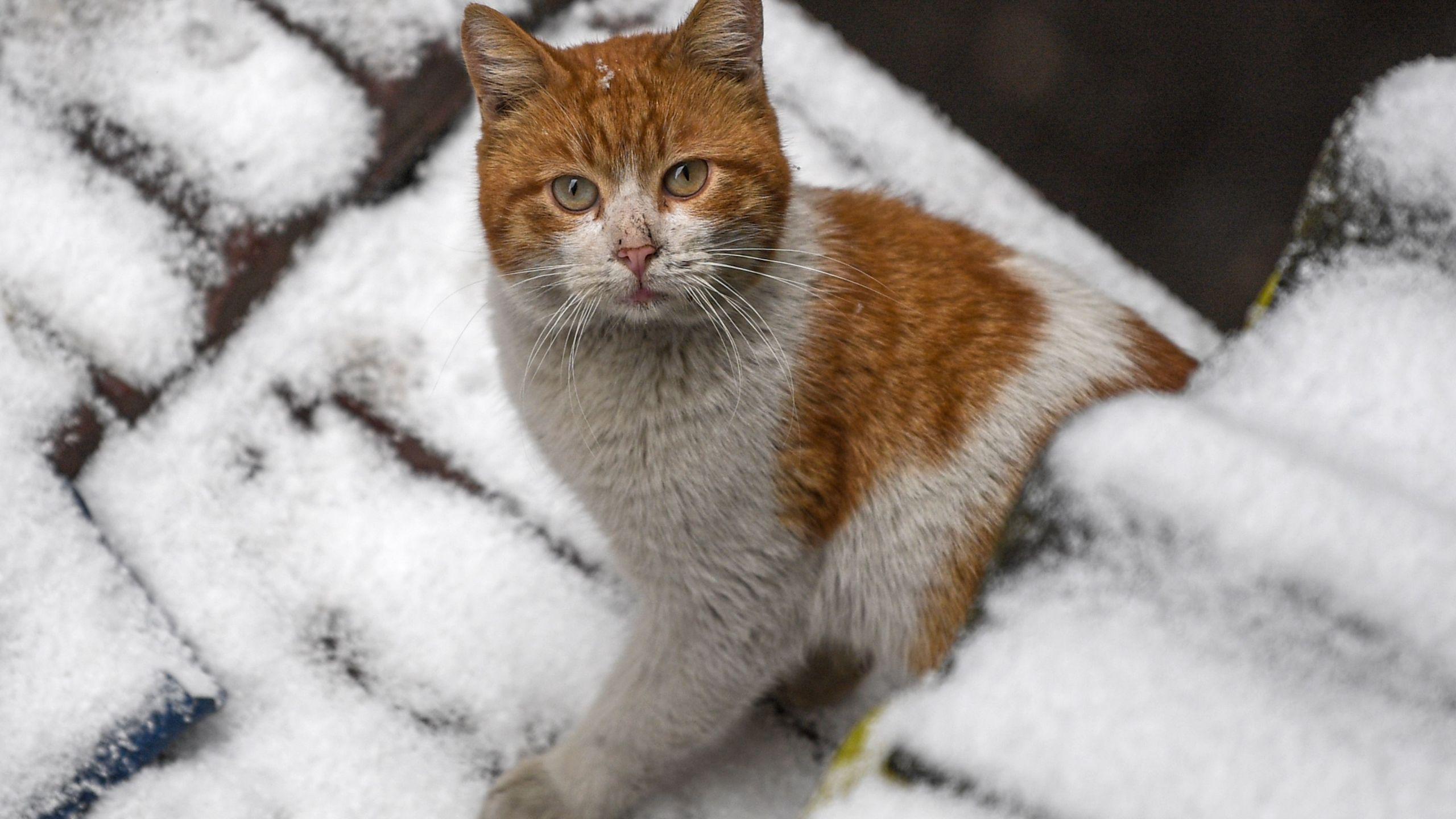 "Ingham County Animal Shelter Halloween 2020 Ingham County Animal Control and Shelter offering ""working cats"